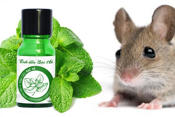 Hướng dẫn dùng tinh dầu bạc hà đuổi chuột hiệu quả