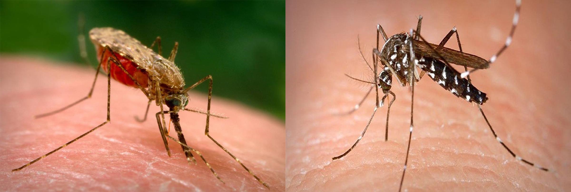 Phân biệt muỗi vằn và muỗi anophen gây bệnh sốt rét và bệnh sốt xuất huyết
