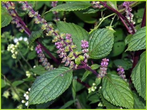 Hương nhu tía phòng và chữa cảm cúm, hôi miệng, xông hương